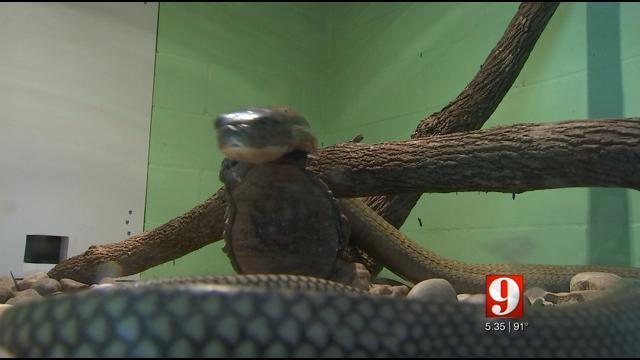 Experts describe behaviors of king cobras in the wild   WFTV