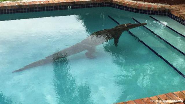 Crocodile Takes Morning Dip In Florida Keys Swimming Pool Wftv