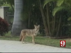 Indian Harbor Beach residents, city leaders discuss coyote problem