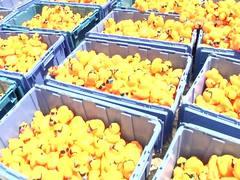 Great Brevard Duck Race Recap