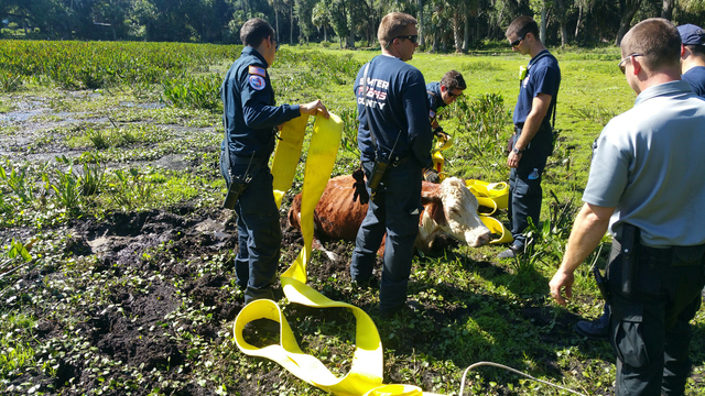 Cow rescued from mud in Sumter County.
