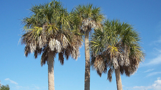 Pinellas County workers erroneously poisoned 74 trees