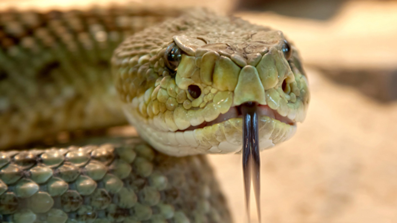 Eastern Diamondback Rattlesnake: Facts about this native