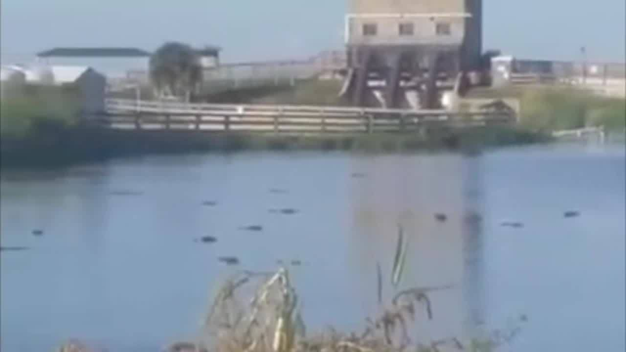 at least 50 gators spotted in lake apopka bicyclist says wftv