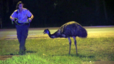 Evasive emu sends deputies on wild chase in Cape Canaveral
