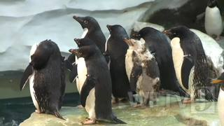 SeaWorld penguin receives customized wetsuit