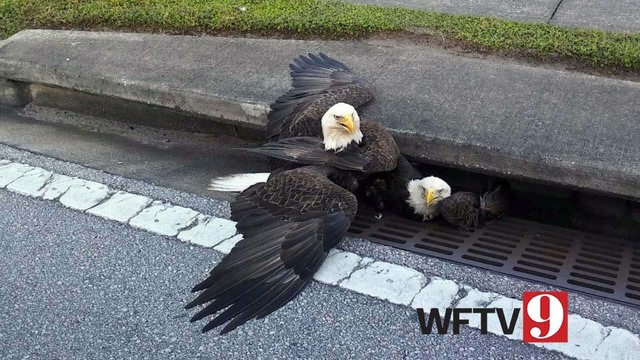 Bald Eagle Injured On Leg Chest After Being Stuck In