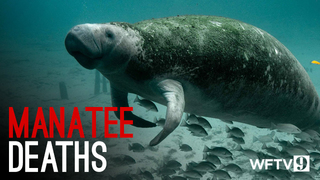 9 Investigates manatee deaths in Indian River Lagoon