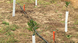 More than 400 reset orange trees stolen from Polk County grove, deputies say