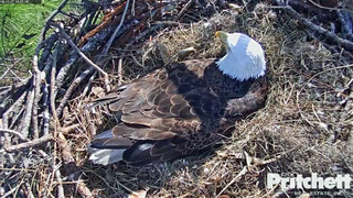 Eagle cam: Eaglet eggs getting ready to hatch in Fort Myers nest