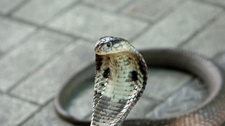 9 Facts about the Monocled Cobra