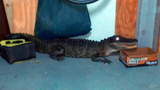 Photos: Gator found in Merritt Island garage - (1/3)