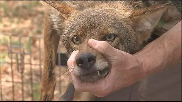 Coyotes Killing Family Pets In Lake Mary Residents Say Wftv