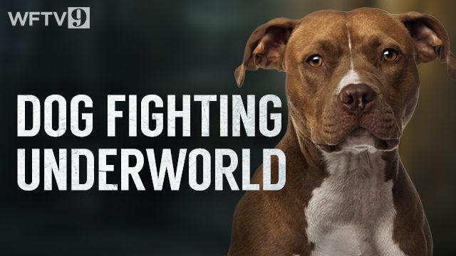 9 Investigates exposes the dogfighting underworld   WFTV
