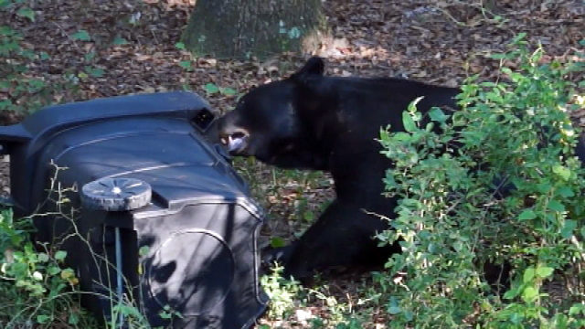 Bear spends 11 hours in tree, gets down, climbs another