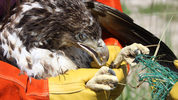 A sick, injured eagle was rescued in Alachua County from a waste facility, FWC officials said.