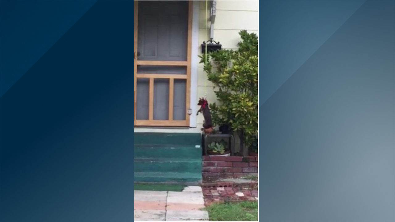 chihuahua taken from winter garden owner after video shows animal