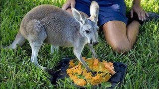 Brevard Zoo celebrates rescued kangaroo