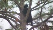 Bears in tree in Sanford.