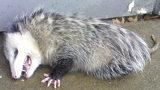 Stock photo of Opossum