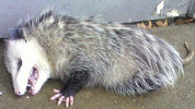 Stock photo of Opossum
