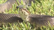 Cottonmouth snake captured in Lake Mary