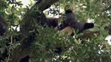 WATCH: Sleeping bear spotted in College Park tree