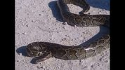 Burmese pythons captures in the Florida Everglades, courtesy of Florida Fish and Wildlife.
