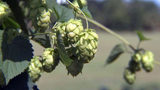 Video: Central Florida craft breweries looking to use locally grown hops in their brews