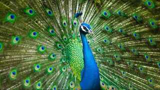 9 facts about peacocks; why you