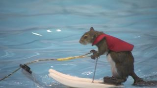 Watch: Twiggy, the water-skiing squirrel, to hang up her skis in Orlando