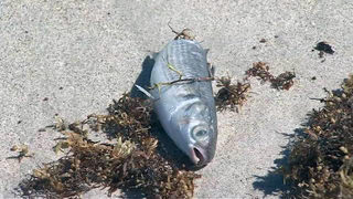 Red tide: Is it safe to eat fish? What diminishes the red tide?