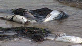 Video: Millions spent on removing dead marine life, tourism marketing after red tide outbreak