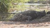 Video: Couple caught allegedly aggravating an alligator
