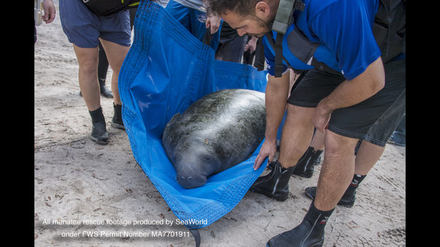 Rescued manatee 'Buckeye' returned to SeaWorld after worrisome weight loss in wild
