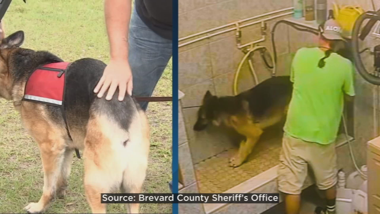 Service dog has tail amputated after 'inhumane' bathing by
