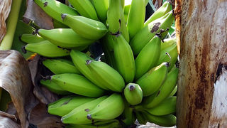 Puerto Rican staples: Yuca vs. green plantains vs. sweet plantains