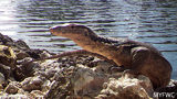 Wildlife officials have finally captured a large invasive Asian water monitor that had been running loose in the Florida Keys for more than a year.