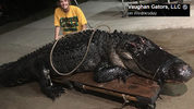 A massive alligator measuring 12 feet long and weighing 463 pounds was recently captured in Florida.