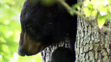 Video: Bear spotted up a tree in an Orlando neighborhood
