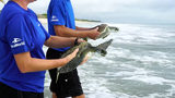 Video: SeaWorld releases rescued sea turtles into ocean at Pineta Beach