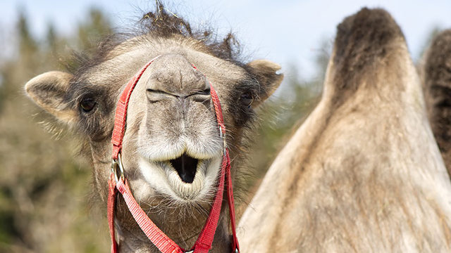 free shipping 0c342 21892 Florida woman bites 600-pound camel's testicles after it sat ...
