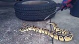 VIDEO: Orlando man finds himself in slithery situation as python curls up in his car