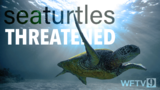 VIDEO: Female sea turtle births are at an all-time high; here's why