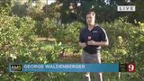 Florida's citrus greening: a disease without a cure