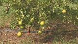 Citrus greening is affecting Florida's Orange production.