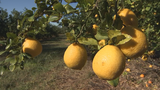 Video: Central Florida citrus growers prep for temperature dips